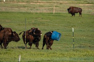 Bison running with tub